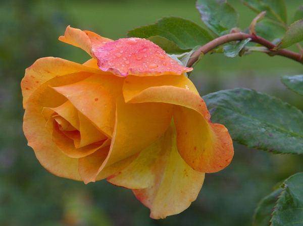 En blomma till vinnaren